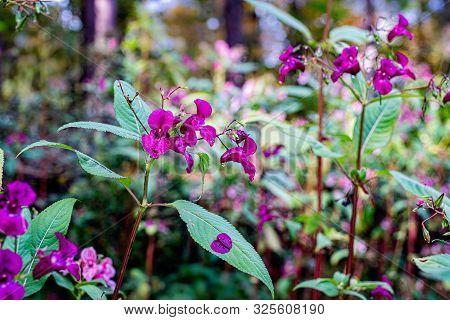 Indian Balsam Wildflower In An Autumn Forest