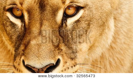 Eyes of lioness