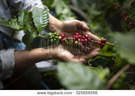 Arabica Coffee Berries With Agriculturist Handsrobusta And Arabica Coffee Berries With Agriculturist