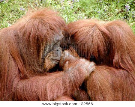 Orangutan Needs A Hug