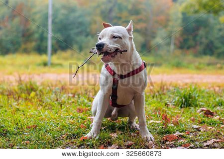 Amstaff Dog On A Walk In The Park. Big Dog. Bright Dog. Light Color. Home Pet.