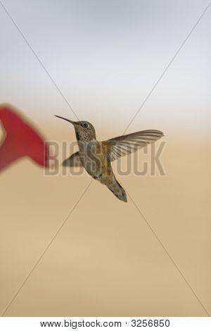 Humming Bird.