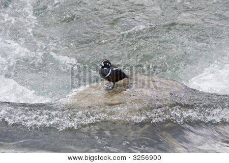 Harlequin Duck.