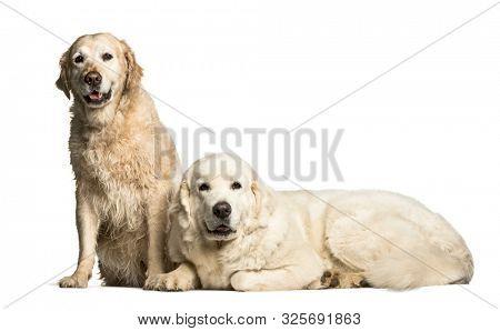 Golden Retriever & Polish Tatra Sheepdog