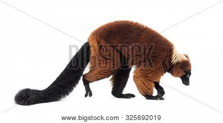 Red ruffed lemur, Varecia rubra, walking against white background