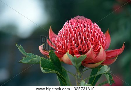 Red And Magenta Flower Head Of A Native Australian Protea, The Waratah, Telopea Speciosissima, Famil
