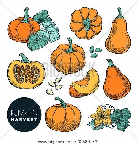 Whole Pumpkins And Pumpkin Slices Isolated On White Background. Color Sketch Vector Illustration. Au