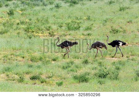 Ostrich, Struthio Camelus In Green Kalahari, Desert After Rain Season. Kalahari Transfrontier Park,