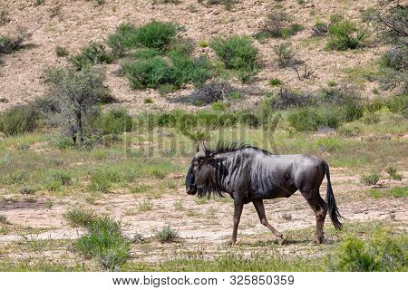 Wild Blue Wildebeest Gnu In Kalahari, Green Desert After Rain Season. Kalahari Transfrontier Park, S