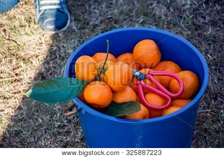Fresh Picked Organic Mandarins And A Scissors In A Blue Plastic Bucket. Harvest. Picking Fruits.