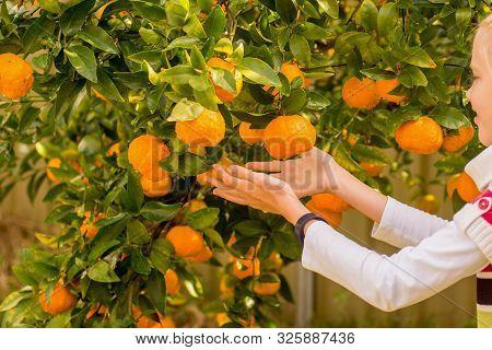 Mandarin Tree Branches With Ripe Fruits. Mandarin Orange Tree. Tangerine. Girls Picking Fruits