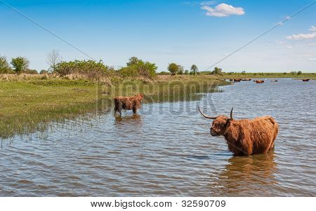 Highland cows in winter coat wading in water on a warm day in spring. poster