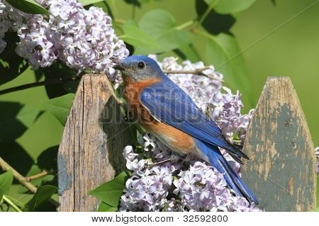 Female Eastern Bluebird (Sialia sialis) on a fence with Lilac flowers poster