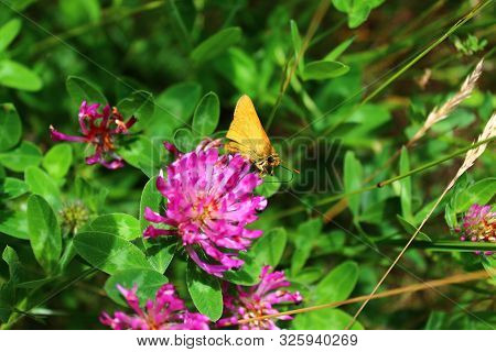Small Skipper On A Flower In The Forest