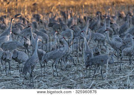 Sandhill Cranes At Bosque Del Apache National Wildlife Refuge, Nevada