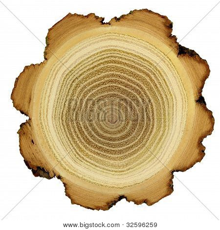 Growth rings of acacia tree - cross section