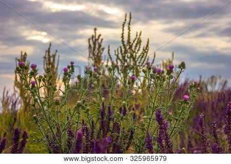 View Of Flowers Of Thorns And Sage Against The Sky In The Summer Field