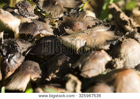 Growing Up Pale Toadstool In The Forest. Growing Pale Toadstool In The Forest