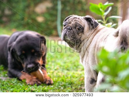 Rottweiler And Pug Dogs Playing In The Garden. Good Friends And Buddy Concept.