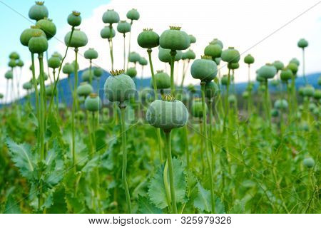 poppy field. opium, poppy capsule and flowers. Agriculture of poppy plant. pharmaceutical industrial plant. main ingredient of morphine poster