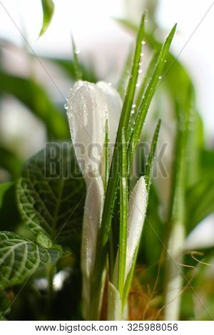 Beautiful Home Plant With A White Flower And Buds In A Flower Pot. Botany. Close-up. Macrocosm. Home