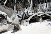 Bones of a beached whale in Zanzibar poster