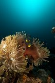 Magnificent anemone  taken in the Red Sea poster