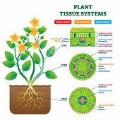 Plant Tissue Systems vector illustration. Labeled biological structure scheme. Anatomical diagram with leaf, stem and root microscopic graphic. Plant inner vascular, dermal and ground cross section. poster