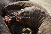 A Komodo dragon eating a water bufalo with blood around his mouth. poster