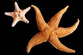 two starfishes play on the black background poster