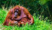 beautiful closeup portrait of a northwest bornean orangutan, critically endangered primate specie from borneo poster