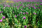 poppy field. opium, poppy capsule. Agriculture of poppy plant. pharmaceutical industrial plant. main ingredient of morphine poster
