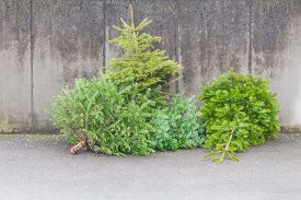 Traditional Green Christmas Trees Firs On Street At Xmas Season. The X-mas Trees Waiting For Buyers