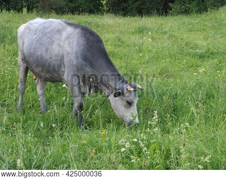 The Cow Eats Grass. Latvian Blue Cow. A Unique Breed Of Cow. Strange, Rare And Unusual Breeds Of Cow