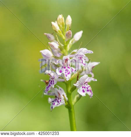 Close Up Of A Common Spotted Orchid (dactylorhiza Fuchsii) Flower In Bloom
