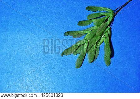 Ripe Maple Fruits. Maple Fruits,