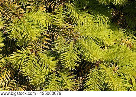 Caucasion Fir, Abies Nordmanniana Variety Golden Spreader Yellow Leaves In Bright Sunlight.