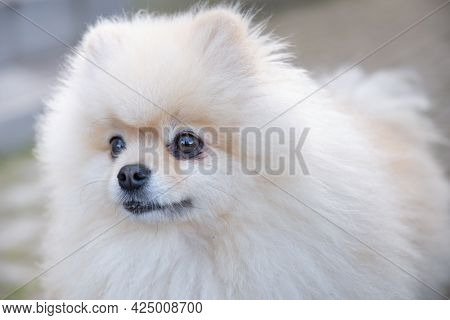White Pomeranian Pomeranian Portrait Close-up After Haircut