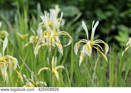Yellow And White Kerner Iris, Iris Kerneriana, Flowers With A Blurred Background Of Shrubs And Leave