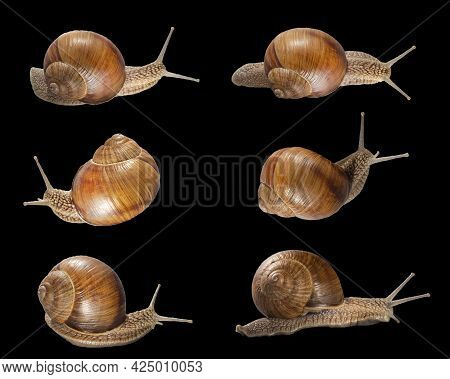 Set Of Various Position Of Grape Snails Isolated On Black Background. Beautiful Grape Snails