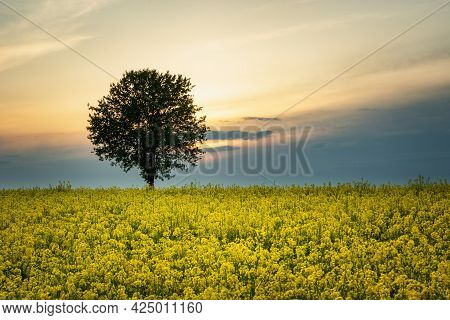 Lonely Tree Growing In A Yellow Rape Field, Czulczyce, Lubelskie, Poland
