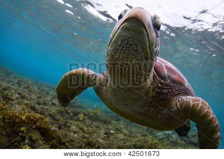 Underwater close up shoot of a sea turtle (Chelonioidea) looking to a camera