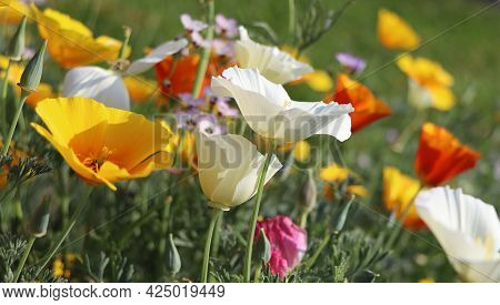 Summer Backgroung. Flowers Of Eschscholzia Californica Or Golden Californian Poppy, Cup Of Gold, Flo
