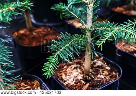 Spruce Seedling. Growing Conifers In Pots At Home. Close-up