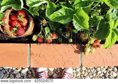 Woman Gardener Picking Strawberry. A Modern Vegetable Garden With Raised Briks Beds . Raised Beds Ga