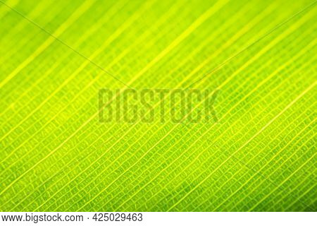 Closeup Of Banana Leaf. Abstract Backgrounds. Green Color Image.