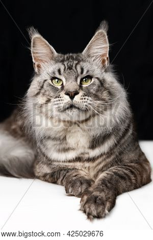 Pretty Mackerel Tabby Maine Shag Cat Lying On Black And White Background And Looking At Camera. Fron