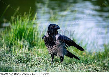 Hooded Crow (corvus Cornix) In The Green Meadow