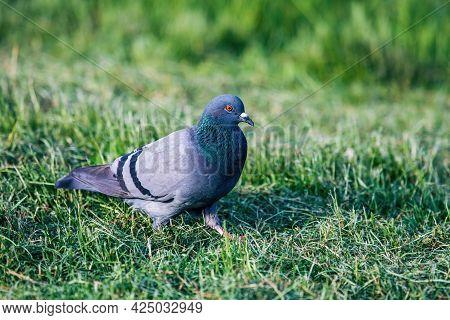 The Domestic Pigeon (columba Livia Domestica) In The Meadow