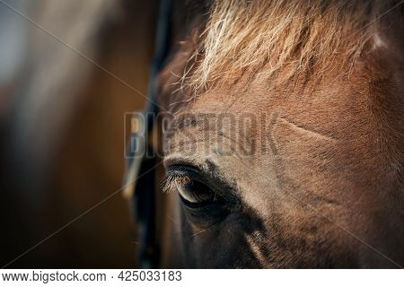 Red Horse's Eye Close-up. Portrait Of A Sports Stallion In A Halter. Sporty Young Horse Red Color In